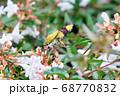 白いアベリアの花を吸蜜しにきたクロヒメホウジャク 68770832