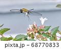 白いアベリアの花を吸蜜しにきたクロヒメホウジャク 68770833