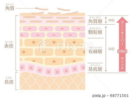 肌の構造/皮膚の構造_ターンオーバー 68771501
