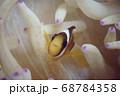かわいいクマノミ(ニモ) 68784358