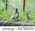 野鳥「キジ」のオス 68786634