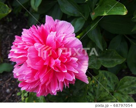 鮮やかな花 ピンクと緑のコントラスト 68797054