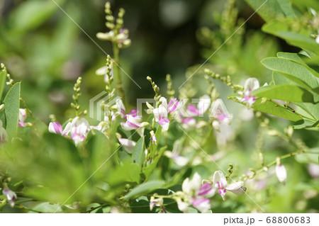 白とピンクの花びらのキハギの可愛い花 68800683