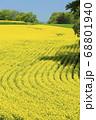 北海道安平町で撮影した菜の花畑の畝 68801940
