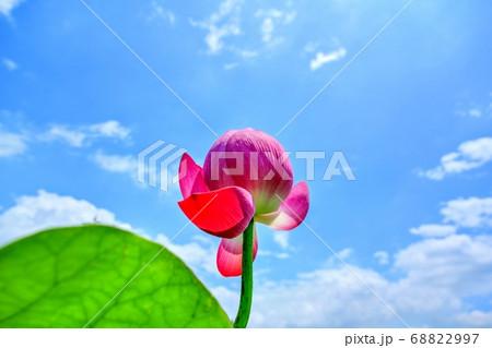 青空バックに見上げるちょうど見頃のピンクのハス 68822997