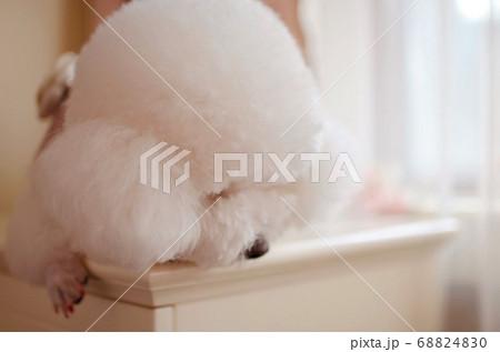 ふわふわとした純白の被毛を身にまとうビション 68824830