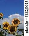 青い空と大きなひまわり 68825048