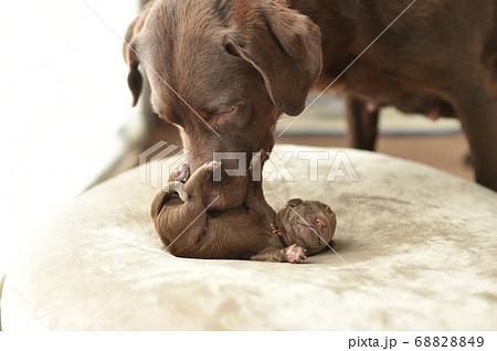 生まれたばかりのラブラドールレトリバーの赤ちゃん 68828849