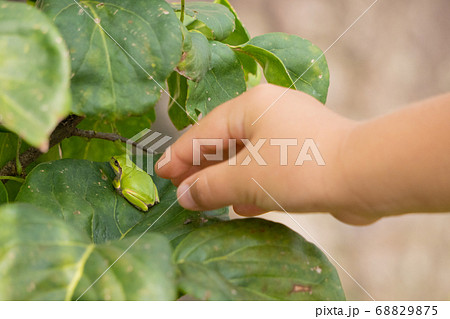 葉っぱの上で休憩するアマガエル発見 68829875