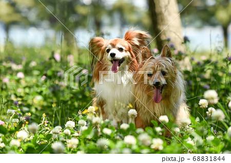 自然の中でおすましするミックス犬 68831844
