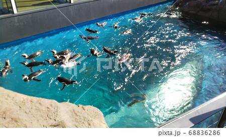 新潟県上越市上越水族館のペンギン 68836286