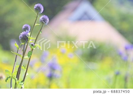 里山の保護地に咲くヒゴタイ バック長者屋 68837450