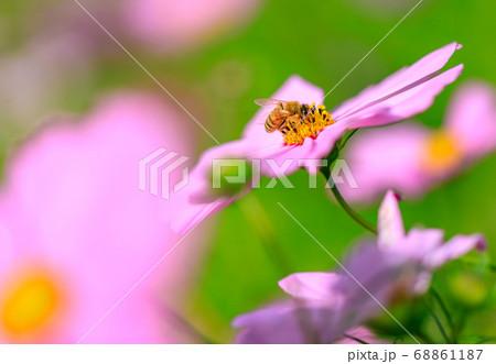コスモスの花の蜜を吸うミツバチ 68861187