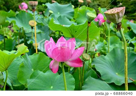 見頃のピンクのハスとハチスのコラボ情景 68866040