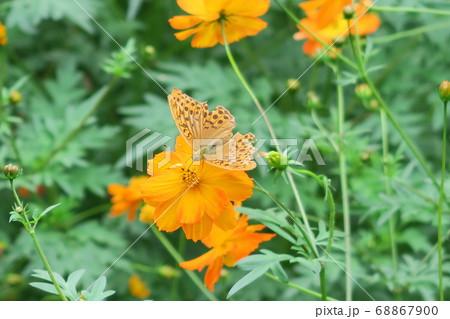 キバナコスモスの蜜を吸うメスグロヒョウモンのオス 68867900