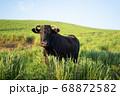 草原に立つ黒牛 68872582