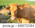 阿蘇の赤牛 68872584
