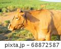 赤牛の横顔 68872587