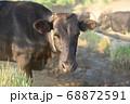 黒牛の顔アップ 68872591