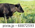 黒牛の横顔 68872593
