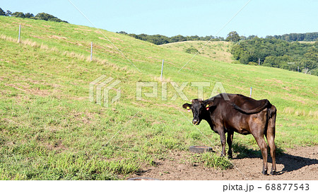 牧場でタイヤのホイールを舐めて鉄分を摂取する放牧牛 68877543