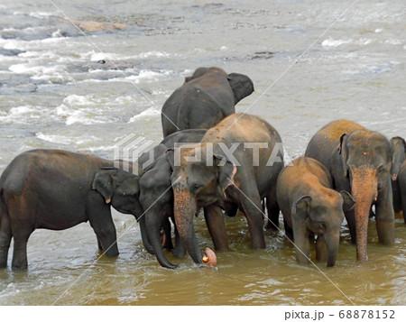 スリランカの象の孤児院の象たちが水辺で集うひととき 68878152