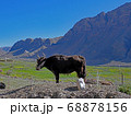4000mにあるスピティ渓谷で出会った牛(牛とヤクのあいのこのゴ) 68878156