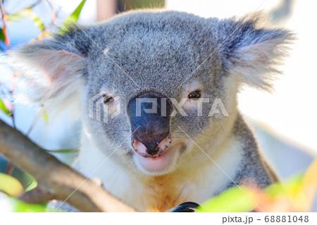 かわいらしいコアラの顔 68881048