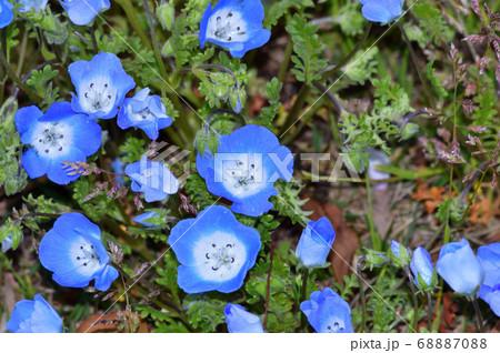 沢山のネモフィラの青い小さな花が咲く草地のネモフィラの花をアップで撮影した写真 68887088