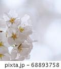 東京大学 ソメイヨシノ 東京大学 ソメイヨシノ 桜桜 68893758