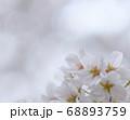東京大学 ソメイヨシノ 桜 68893759