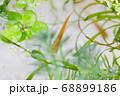 水槽の中の水草とメダカ 68899186