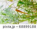 水槽の中の水草とメダカ 68899188