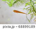 水槽の中の水草とメダカ 68899189
