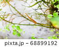 水槽の中の水草とメダカ 68899192