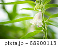 The white flower of sesame on a tree in blur background and morning sunlight at the plantation. Closeup and copy space on the left. The concept of agricultural products of farmers. 68900113