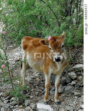 インド・ヒマラヤ山麓の村で出会った瘤牛の仔牛 68900477