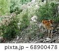ヒマラヤ山麓(インド・ヒマーチャルプラディーシュ州)の村近くで出会った瘤牛の仔牛 68900478