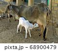 インド砂漠(ラージャスタン州クーリー村)で出会った親子の瘤牛 68900479