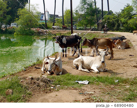 瘤ウシ(インドで最も多い種類の牛) 68900480