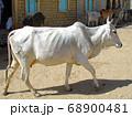 神様の乗り物として大切にされるインドのコブ牛 68900481