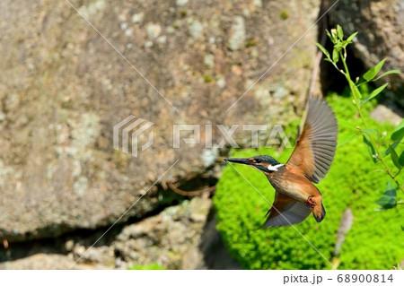 羽根を広げて飛ぶカワセミ幼鳥メス 68900814