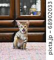 食卓の上に乗ってしまったキジトラの仔猫 68902033