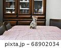 食卓の上に乗ってしまったキジトラの仔猫 68902034