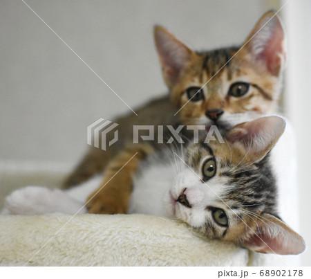 キャットタワーのベッドでくつろぐ仔猫 68902178