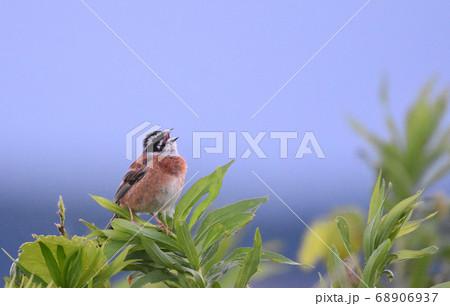 北印旛沼の野鳥 ホオジロのさえずり 68906937