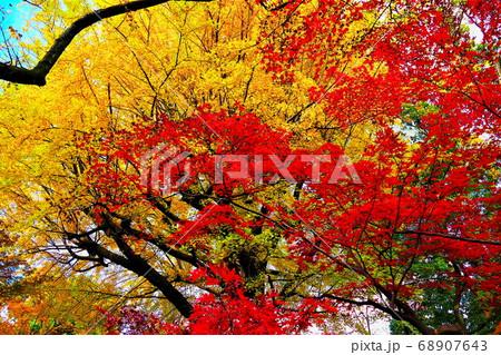 色鮮やかな紅葉と銀杏の競演(六義園) 68907643