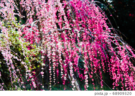 春の日差しを浴び咲くグラデーションピンクのしだれ梅 68909320