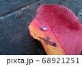 紅葉した桜の葉の上の雪虫 68921251