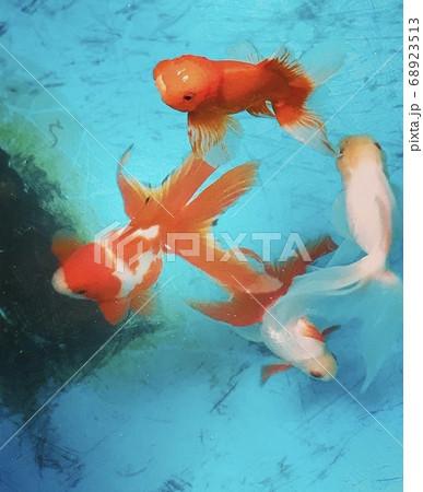 プールの中の金魚 68923513
